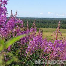 Иван чай: обычное растение и необычные свойства!