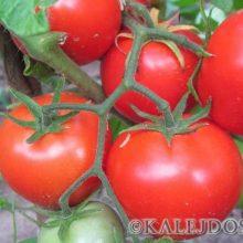 Мой удачный  эксперимент — как увеличить урожай томатов в 3 раза