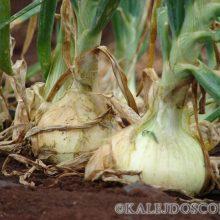 5 секретов правильной посадки лука весной