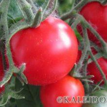 Основные правила полива томатов