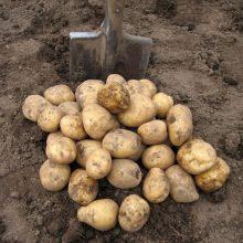 Картофель, как собрать 20 ведер с 10 кустов?