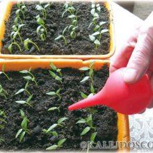 Как правильно поливать рассаду овощных культур