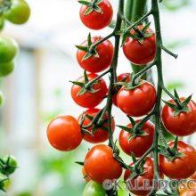 Интересный способ выращивания томатов