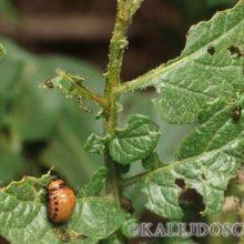 Борьба с колорадским жуком на картошке!!!!