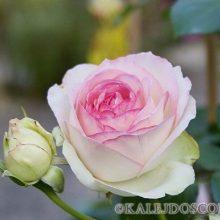 Уникальный способ омоложения роз.