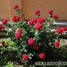 5 способов погубить розу