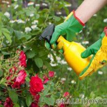 Как защитить розу