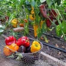 Вот что надо делать чтобы перцы дали хороший урожай
