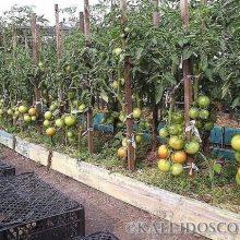 Советы как выращивать томаты в открытом грунте