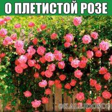 О ПЛЕТИСТОЙ РОЗЕ