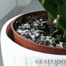 Что делать, если грунт в горшке у растения покрылся белым налётом?