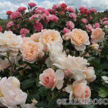 Выращивание роз в 12 вопросах и ответах